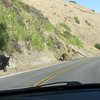 Cows love the Hwy 1 as well