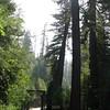 Dicke Redwood's (Mamutbaeume) sind auf ein mal ueberall zu sehen...