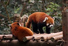 Our visit to Chengdu's Panda breeding research facility gave us quite a few photos of both Red Pandas and Giant Pandas, two creatures we'll likely never get to see in the wild.