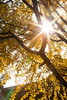 Sunlight filters through the yellow leaves of a Ginko Biloba in the temple's gardens.