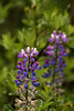 Blue Lupine are plentiful in Archangel Valley.