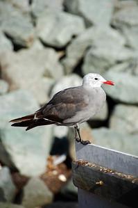 Seagull (full)