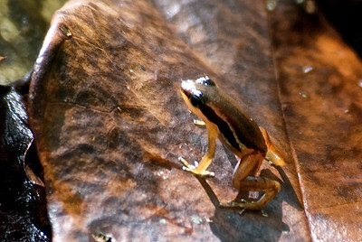 Non-poisonous frog related to the talamancan dart frog.