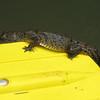 Baby American crocodile(s)