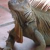 Green iguana(s)