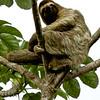Three-toed slothThree-toed sloth