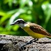 Social flycatcherSocial flycatcher