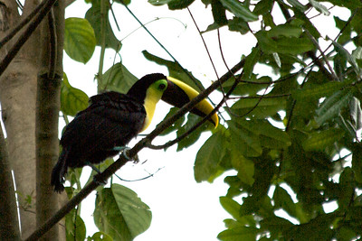 Chestnut mandibled toucanChestnut Mandibled Toucan