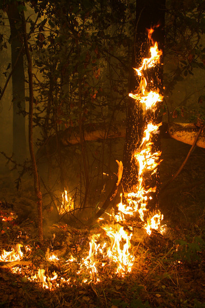 Fire licks hungrily up a spruce tree and spreads through the fluffy tundra typical of the Alaskan wilderness.