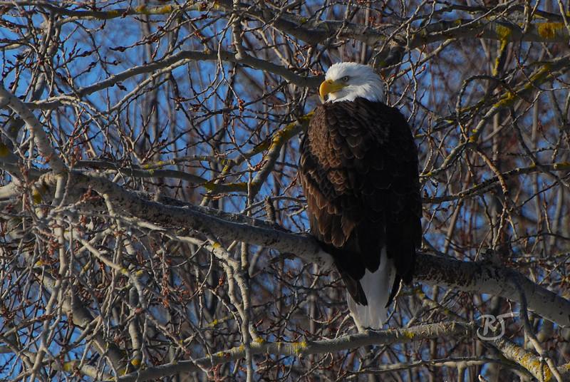 """Day 314 (2/2) - Bald Eagle Perched     (Gallery of Bald Eagle Photos <a href=""""http://banjon.smugmug.com/gallery/7302423_TwnwW/1/469607962_8YxXA"""">here</a> )   Feb 07 2009"""