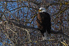 "Day 314 (2/2) - Bald Eagle Perched     (Gallery of Bald Eagle Photos <a href=""http://banjon.smugmug.com/gallery/7302423_TwnwW/1/469607962_8YxXA"">here</a> )   Feb 07 2009"