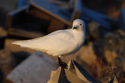 Day 302 (1/2) - Ivory Gull  It is extremely rare to sight an Ivory Gull this far south of the Arctic. This one has been hanging around Sambro Harbor for about a week. He's alone and must have gotten caught in a storm or something. His presence has the birding community here in an absolute tizzy :).  I woke up early this morning hoping to sight the gull. This gull is about 2 yrs. old. He is not at all camera shy and came within 2 ft. of where I was to check me out. I was terrified to make a move in case I spooked him.  Thankfully the sunlight was slightly diffused this morning which made for excellent conditions to photograph. Unfortunately, the weather was a bone chilling -20 c (about -5 f). I was well dressed for the elements though and oh so lucky to have been able to get these shots. It's a once in a lifetime experience.   More photos of him in this gallery  I also added a nice sailboat photo of a Frosty Morning   Update: A 2nd Ivory Gull was spotted today. Wow. :)  Jan 27 2009