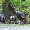 Safe?: Knowing that Thanksgiving Day is over, nine wild turkeys walk along Ellenwood Street Wednesday afternoon.