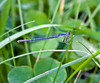 Eastern Forktail at Bellamy River Wildlife Management Area