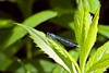 Familiar Bluet Damselfly at Bellamy River Wildlife Management Area