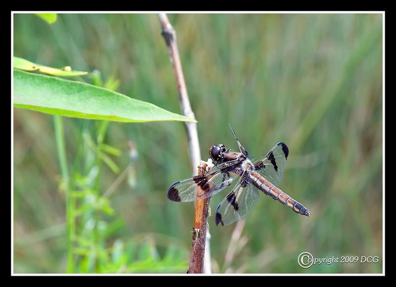 12 Spotted Skimmer at Bellamy River Wildlife Management Area