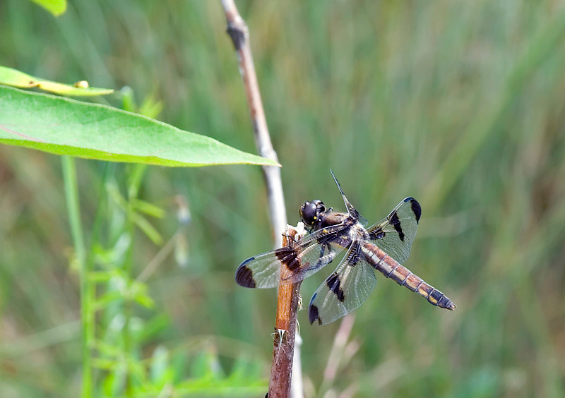 12 Spotted Skimmer at Bellamy River Wildlife Management Area