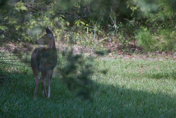 2009.10.19 Fawn in the Backyard