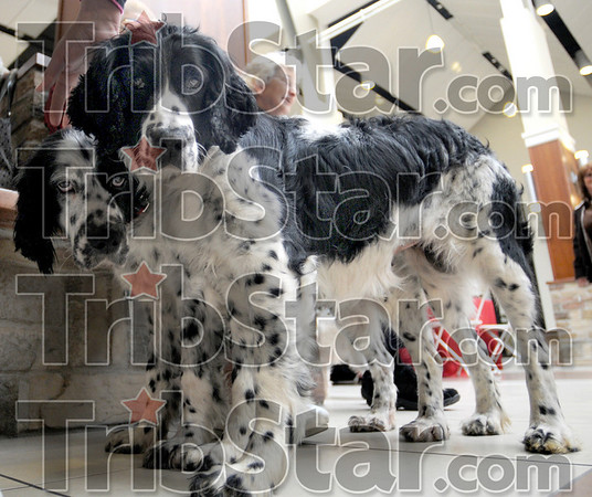 Matched pair: Two female spaniels get petted at center court of the Honey Creek Square Mall Saturday afternoon. The two are mother and daughter and are up for adoption.