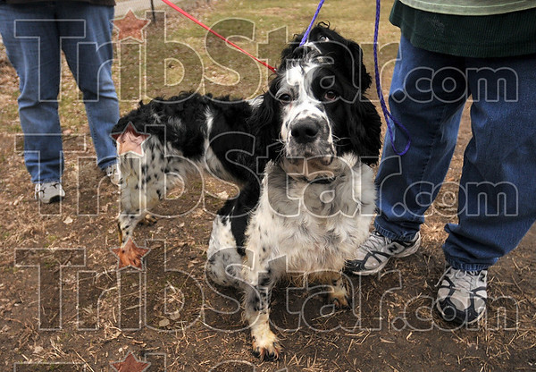 Tribune-Star/Joseph C. Garza<br /> Up for adoption: Suzie and Annie are black and white, pure-bred English Setters, mother and daughter, whose owner turned them over to the Terre Haute Humane Society recently.