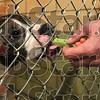 Tribune-Star/Joseph C. Garza<br /> Keeping the peace (or piece): Terre Haute Animal Control Officer Jerry Arney feeds a canine in the Terre Haute Humane Society Wednesday after he dropped off another stray.
