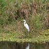 Ein Egret am Strassenrand auf dem Weg in die Everglades...