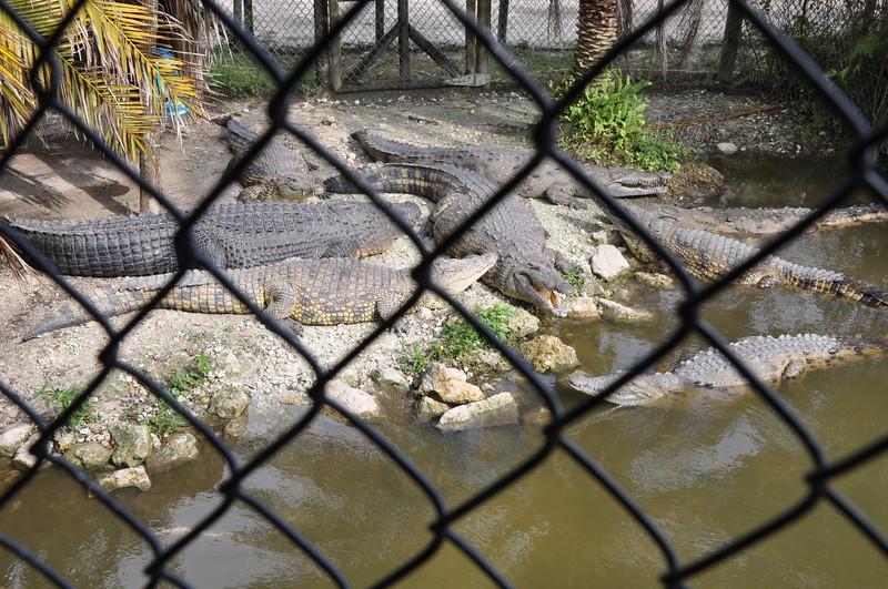 Aligatorm werden hier bis 4 Meter lang und ziemlich breit..leider haben wir die groesseren Exemplare nur im Gehege gesehen...vieleicht ist es auch besser so...