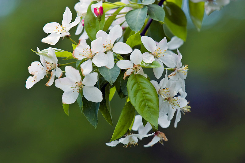 Apple Blossoms at Henery Law Park