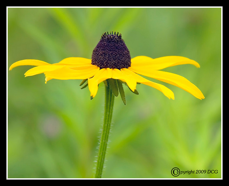 Black-eyed Susan at Bellamy River Wildlife Management Area