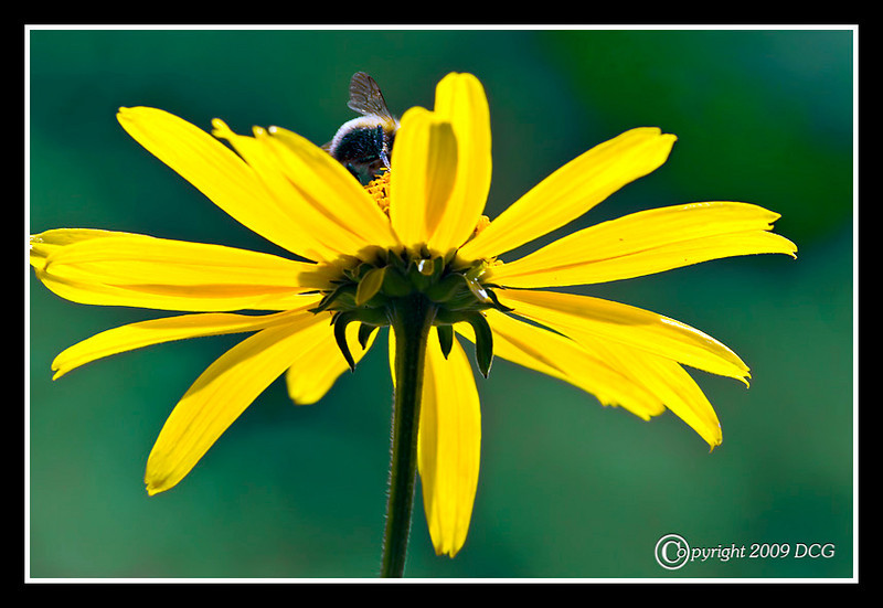Black-eyed Susan at Prescott Park