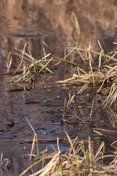 When we weren't looming around the shoreline the frogs went into action, croaking up a storm and churning the water into a boil all around the pond.