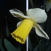 Las Vegas Daffodil 4/8/09 planted last year for Kaylie
