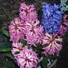hyacinths 4-8-09