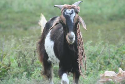 Rasta goat listens to Baaah Maaahley