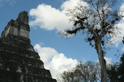 A ceiba tree dreams of being as tall as Temple I
