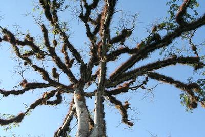 An old ceiba tree greets visitors to Tikal