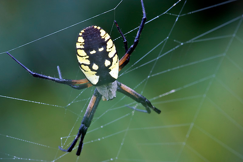 Black-and-Yellow Argiope Spider at Bellamy River Wildlife Management Area