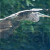 Great times: Great Blue Herons like this one are frequent sights on a trip ont eh Wabash with Joe's Airboats. Bald eagles and white tail deer are not uncommon.