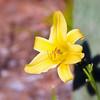 07-18-09 Photowalk Sausalito - Yellow Daylily