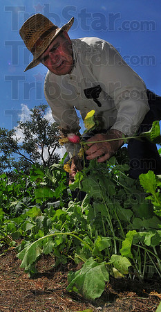 Old hand:  John Greenwalt pulls a radish from his south 8th street garden Wednesdaqy afternoon. HE and his wife Rosemary share the fruits of their labor with neighbors.
