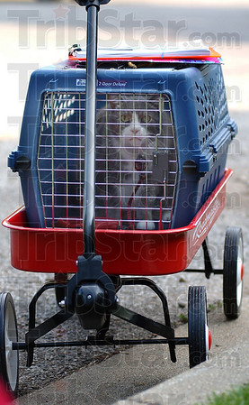Searching: Bob and Virginia Noyd's cat Charlie peers out from his carrier in the Cracker Barrel parking lot Wednesday evening. The Noyd's hoped Charlie's presence would entice his sister Katie to make herself known.