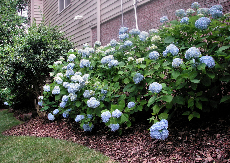 The Hydrangeas blooming