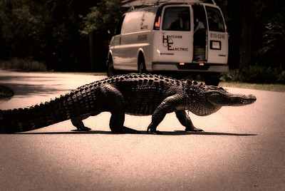 The Reason for All the Alligator Warning Signs