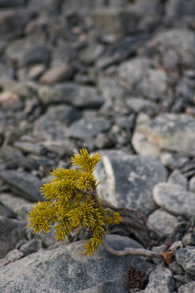 Tiny spruce trees eke out a living on the gravelly riverbed.