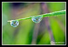 Dew Drops on grass at William H. Champlin Forrest