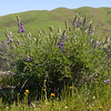 Lupines and fiddlenecks