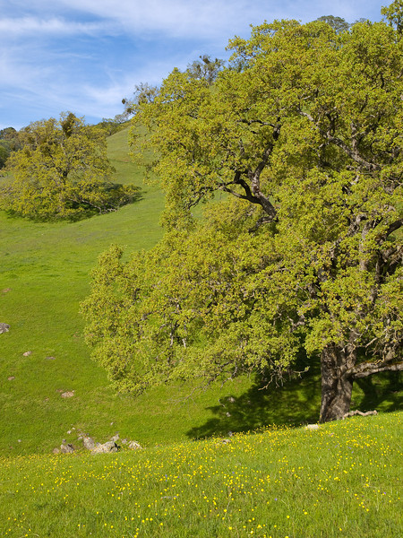 Buttercups and oak trees