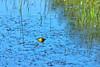 Bullfrog at Bellamy River Wildlife Management Area