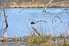 Beaver at Lubberland Creek Preserve