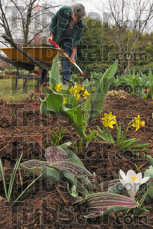 Sprucing up: Barbara Hoffman spreads mulch around the flowers beds she has cleand. She and her husband Frank were working in the yard of their South 24th street home. A white crocus blooms near tulip leaves while tete daffodils add a splash of color to the beds.